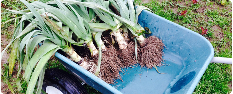 Leeks in wheelbarrow